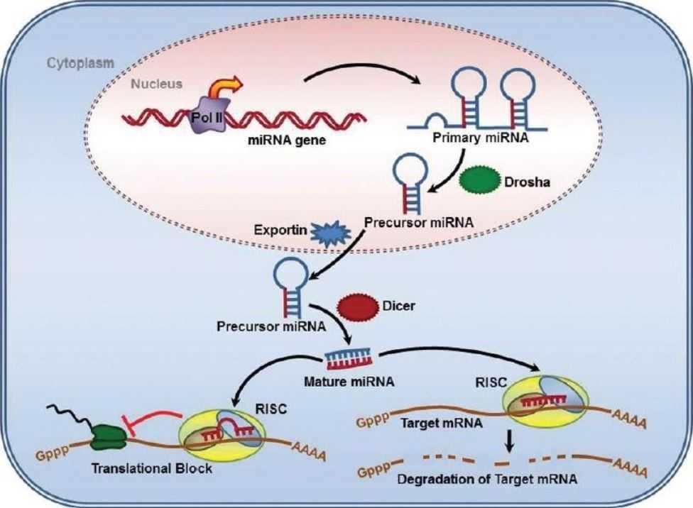Tumori: una antica proteina svela le funzioni del microRNA