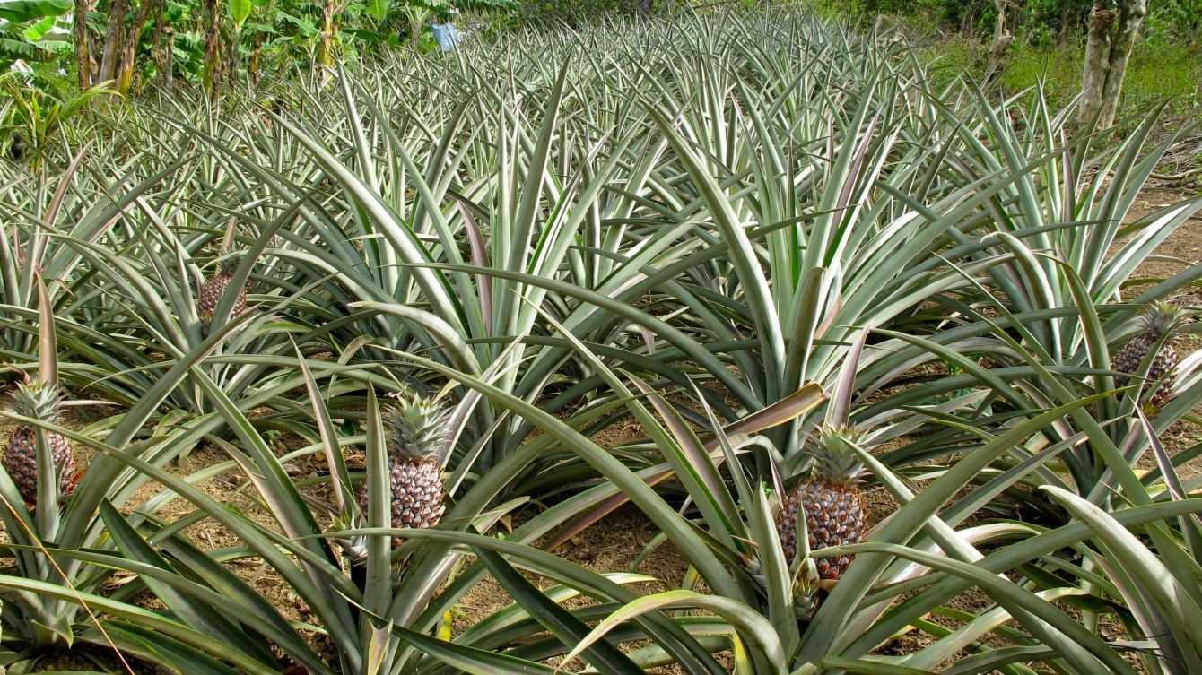 Scienza del cibo: Ananas, dai tropici alle nostre tavolate di Natale