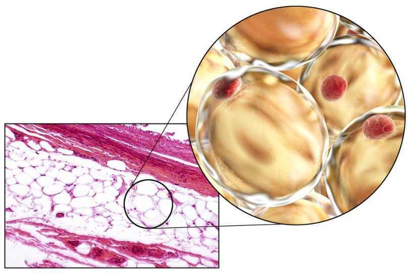 Biologia: la genetica dei fianchi larghi e della pancetta