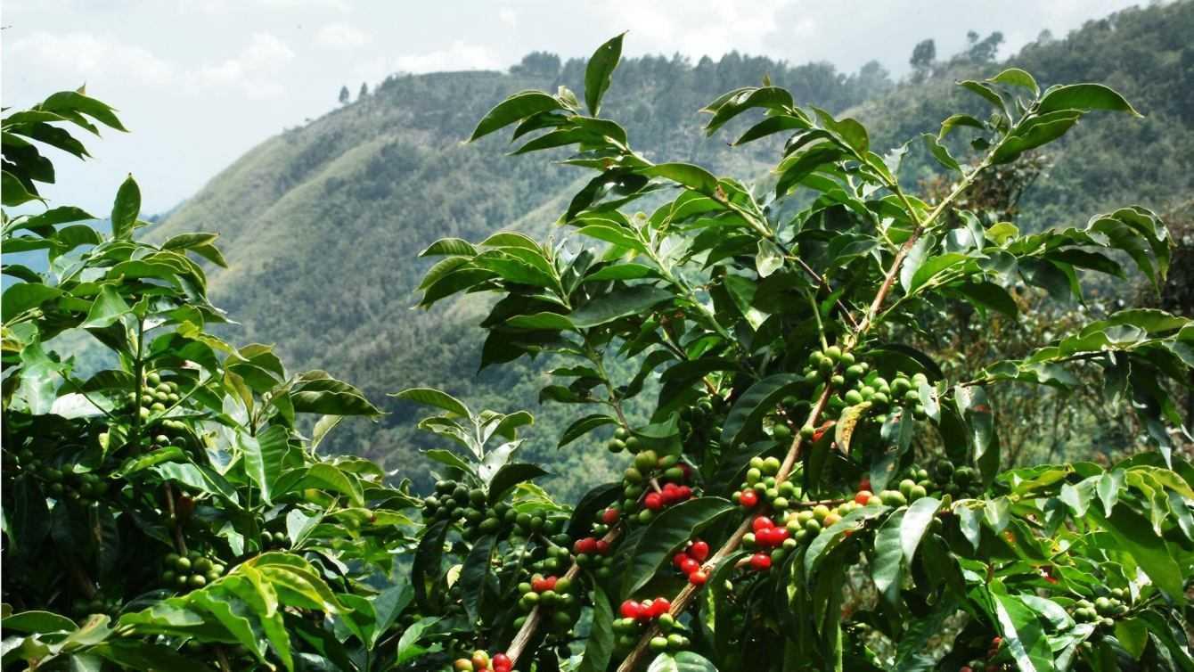 Ecologia: molte specie di caffè rischiano l'estinzione
