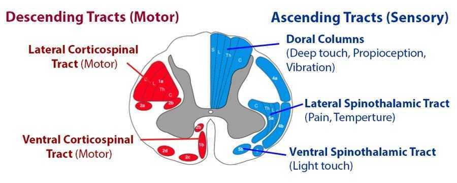 Medicina: midollo spinale rigenerato tramite stampa 3D