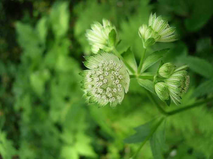 Biologia: eterna giovinezza grazie ad una pianta giapponese?