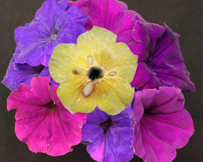 Biologia: stesso processo rende aspri i limoni e da colore ai fiori