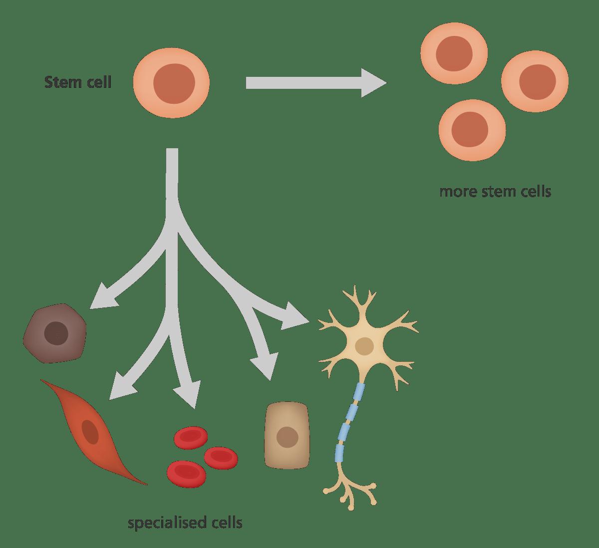 Tumori: scoperto un nuovo tipo di cellule staminali