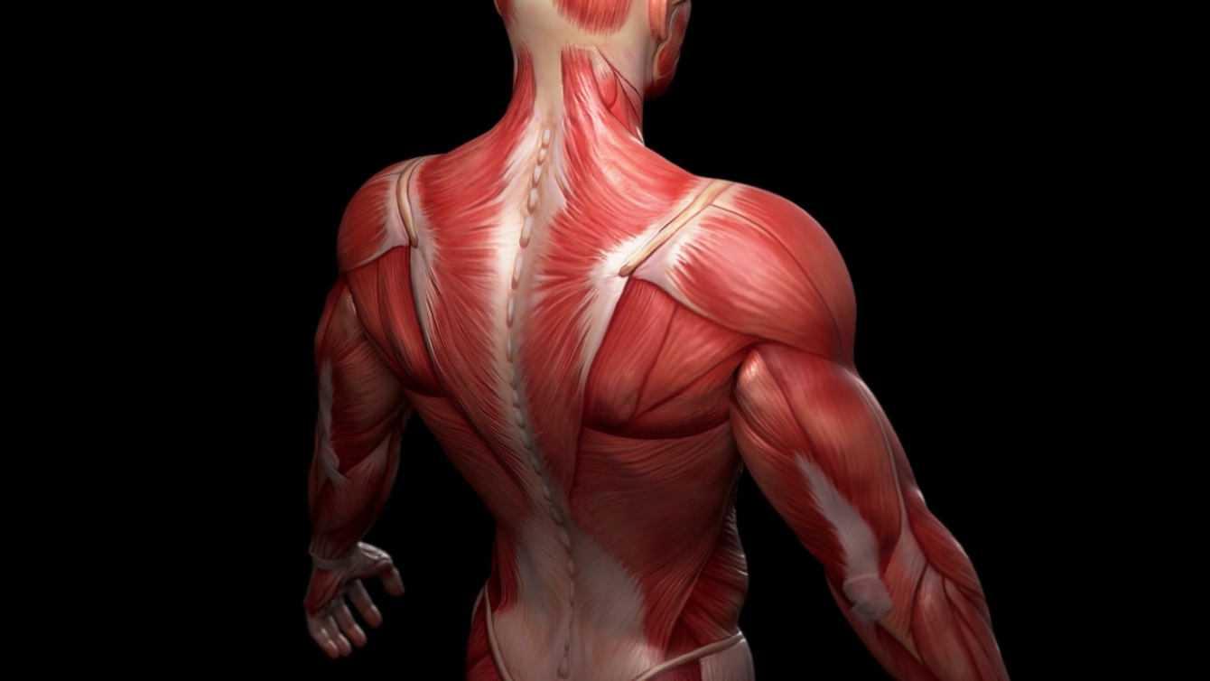Muscoli preistorici: quando l'evoluzione ci sorprende | Biologia