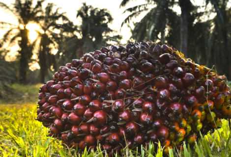 Olio di palma sostenibile: è possibile con una furbizia   Ecologia