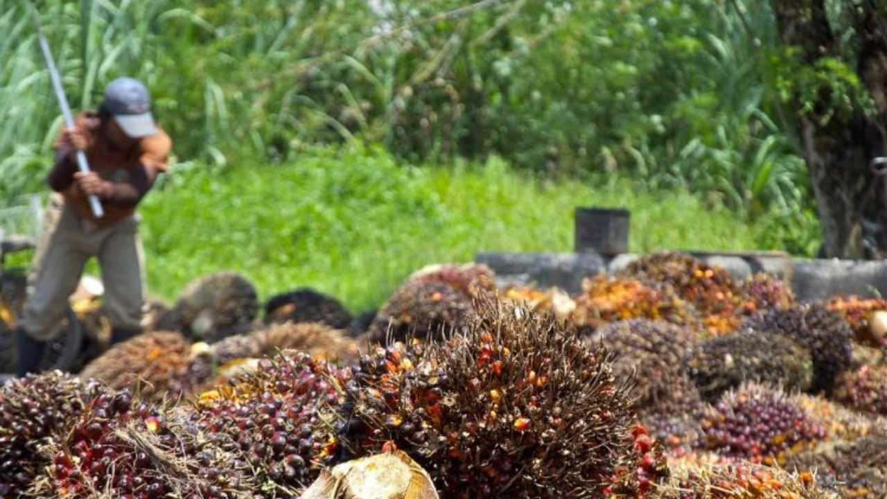 Olio di palma sostenibile: è possibile con una furbizia | Ecologia