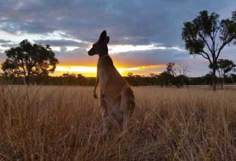 Australia e rischio estinzione: le specie ombrello   Ecologia