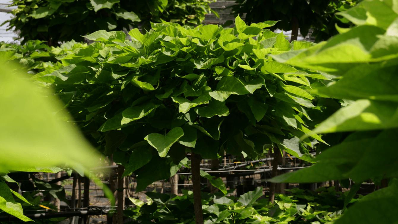 Cimice asiatica: rimedio naturale da un botanico italiano?