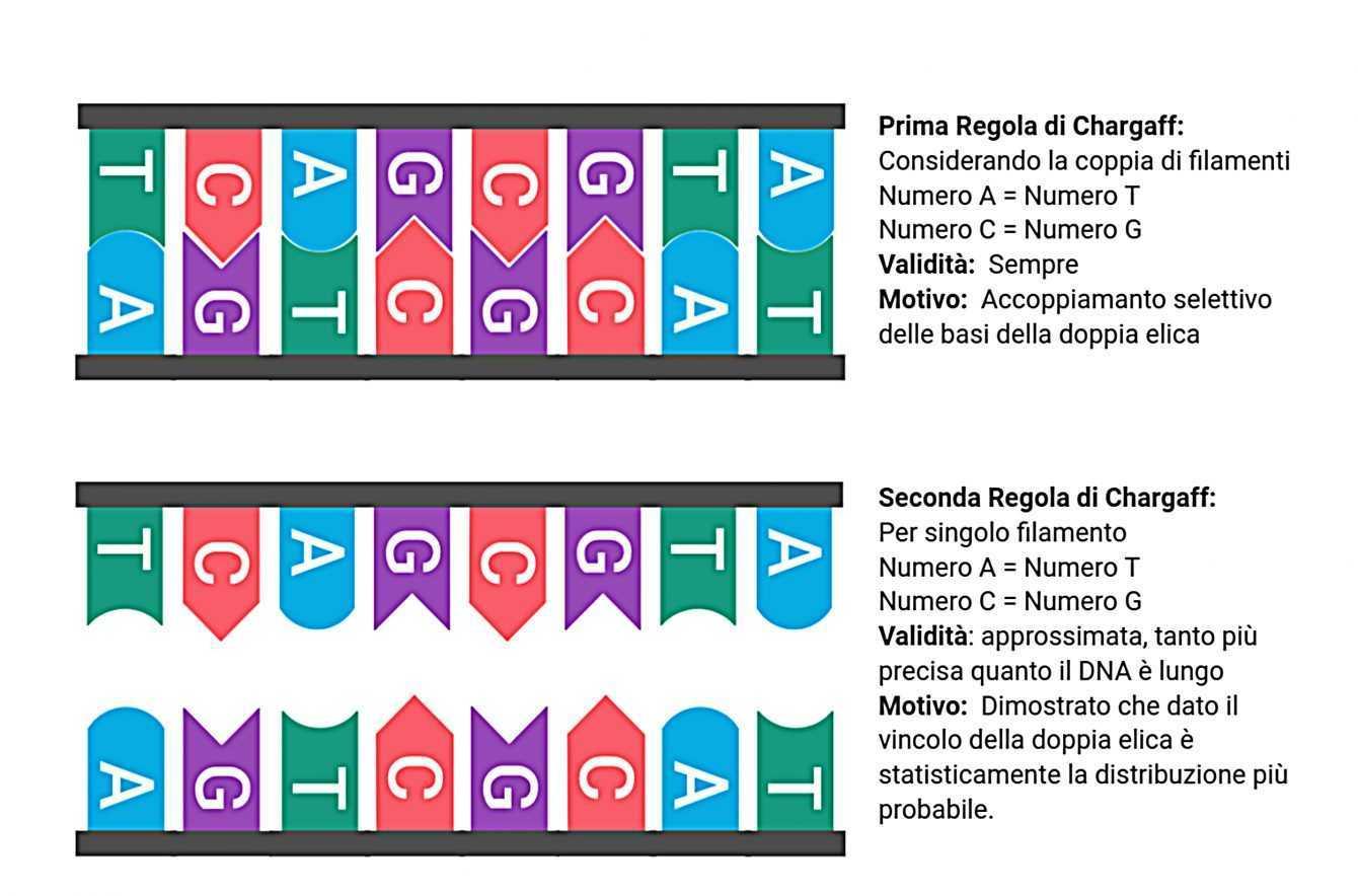 DNA: svelati i suoi segreti grazie all'Università di Torino | Biologia
