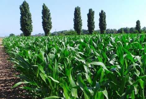 Lotta biologica: nuove scoperte grazie al mais