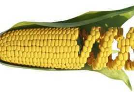 OGM: utili per combattere la carenza di micronutrienti