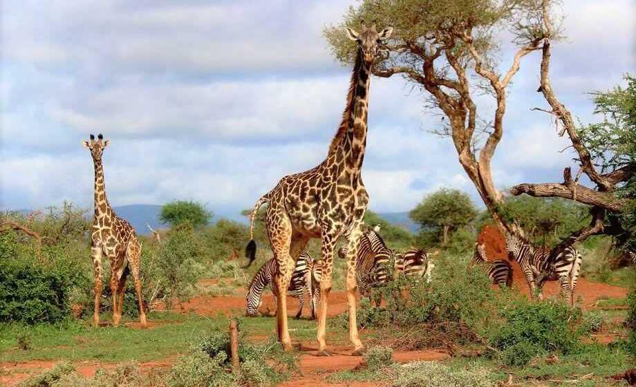 Il fatto di essere alti: il problema della giraffa