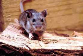 Vedere il mondo attraverso gli occhi di un topo