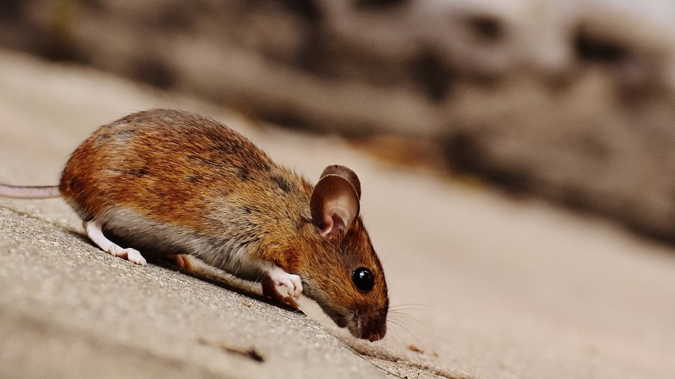 See the world through the eyes of a mouse